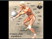 Muscular System Jigsaw Game